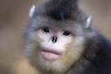 Yunnan Snub-Nosed Monkey (Rhinopithecus Bieti) Portrait, Yunnan Province, China Photographic Print by Will Burrard-Lucas