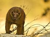 Arunachal Macaque (Macaca Munzala) Tawang, Arunachal Pradesh, India. Endangered Species Photographic Print by Sandesh Kadur