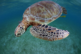 Green Turtle (Chelonia Mydas) Akumal, Caribbean Sea, Mexico, January. Endangered Species Photographic Print by Claudio Contreras