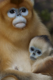 Quinling Golden Snub Nosed Monkey (Rhinopitecus Roxellana Qinlingensis) Photographic Print by Florian Möllers