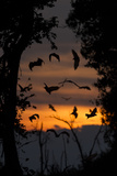 Straw-Coloured Fruit Bats (Eidolon Helvum) Returning To Daytime Roost At Dawn Photographic Print by Nick Garbutt