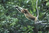 Proboscis Monkey, Male Leaping across River (Nasalis Larvatus) Kinabatangan, Sabah, Borneo Photographic Print by Nick Garbutt