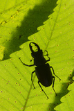 Stag Beetle (Lucanus Cervus) Male Silhouetted Against Leaf, Controlled Conditions Photographic Print by Adrian Davies