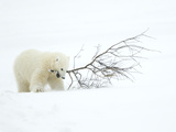 Polar Bear (Ursus Maritimus) Cub Playing with Branch,Churchill, Canada, November Papier Photo par Danny Green