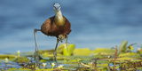African Jacana (Actophilornis Africanus) Male Holding His Youngsters Safely under His Wings Fotodruck von Wim van den Heever