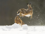 Brown Hare (Lepus Europaeus) Adult Female (Mid-Air) Leaping Out of Her Form in Snow Photographic Print by Andrew Parkinson