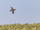Common Quail (Coturnix Coturnix) Flying over Field, Spain, May Photographic Print by Markus Varesvuo