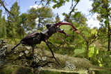 Stag Beetle (Lucanus Cervus) Male on Oak Tree. Elbe, Germany, June Photographic Print by Solvin Zankl