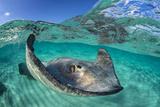 Split Level Image of a Southern Stingray (Dasyatis Americana) Swimming over a Sand Bar Fotografie-Druck von Alex Mustard