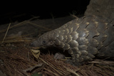 Cape Pangolin (Smutsia Temminckii) Foraging at Night. South Luangwa National Park, Zambia Photographic Print by Luke Massey