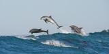 Bottlenosed Dolphins (Tursiops Truncatus) Porpoising During Annual Sardine Run Fotografisk trykk av Wim van den Heever