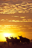 Blue Wildebeest (Connochaetes Taurinus) Herd Silhouetted Against the Rising Sun with Clouds Photographic Print by Wim van den Heever