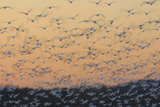 Greater Snow Geese (Chen Caerulescens) Taking Flight at Sunset During Migration Photographic Print by Gerrit Vyn