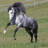 Gray Andalusian Stallion Running, Ojai, California, USA Photographic Print by Carol Walker