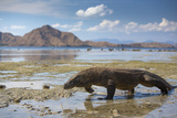 Komodo Dragon (Varanus Komodoensis) Walking with Tongue Extended on Beach Photographic Print by Mark Macewen