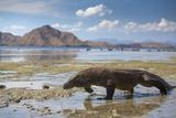 Komodo Dragon (Varanus Komodoensis) Walking with Tongue Extended on Beach Photographic Print by Mark Macewen