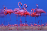 Caribbean Flamingo (Phoenicopterus Ruber) Preparing to Sleep Photographic Print by Claudio Contreras