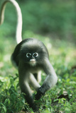 Adult Dusky Leaf Monkey (Trachypithecus Obscurus) Running, Thailand 1996 Photographic Print by Elio Della Ferrera