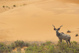 Greater Kudu (Tragelaphus Strepsiceros) Male by Sand Dunes Photographic Print by Staffan Widstrand