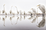 Group of Great Egrets (Ardea Alba) Reflected in Still Water Photographic Print by Bence Mate