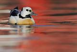 Steller's Eider Duck (Polysticta Stelleri) Batsfjord Village Harbour with Red Reflections Photographic Print by Staffan Widstrand