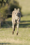 Eastern Grey Kangaroo (Macropus Giganteus) Bounding Photographic Print by Dave Watts