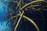 Red Mangrove (Rhizophora Mangle) in Sinkhole Photographic Print by Claudio Contreras