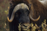 Muskox (Ovibos Moschatus) Feeding on Willows. North Slope, Alaska. September Photographic Print by Gerrit Vyn