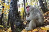 Japanese Macaque - Snow Monkey (Macaca Fuscata) Female with Young in Autumn Woodland Photographic Print by Yukihiro Fukuda