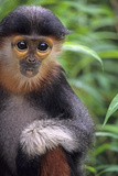 Red Shanked Douc Langur (Pygathrix Nemaeus) Captive Infant Photographic Print by Matthew Maran