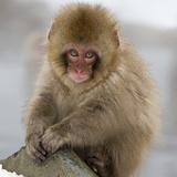 Japanese Macaque (Macaca Fuscata) Juvenile Portrait, Jigokudani, Japan. February Photographic Print by Diane McAllister
