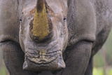 White Rhinoceros (Ceratotherium Simum) Close Up Portrait, Imfolozi National Park, South Africa Photographic Print by Staffan Widstrand