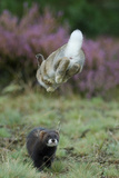 European Polecat (Mustela Putorius) Hunting Rabbit Which Is Jumping to Get Away Photographic Print by Edwin Giesbers