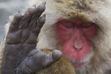 Japanese Macaque (Macaca Fuscata) Sleeping at Hot Spring in Jigokudani Fotografisk trykk av Mark Macewen