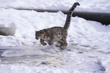 Snow Leopard Jumping (Panthera Uncia) Usa Photographic Print by Lynn M. Stone