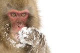 Snow Monkey (Macaca Fuscata) with Snow Covered Paw in Front of Mouth, Nagano, Japan, February Photographic Print by Danny Green