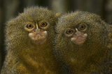 Two Pygmy Marmosets (Cebuella Puygmaea) Captive Photographic Print by Edwin Giesbers
