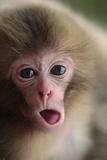 Japanese Macaque (Macaca Fuscata) One Month Old, Jigokudani, Joshinetsu Kogen Np, Nagano, Japan Fotografisk trykk av Yukihiro Fukuda