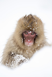 Snow Monkey (Macaca Fuscata) in Snow, Nagano, Japan, February Photographic Print by Danny Green