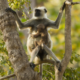 Hanuman Langur - Northern Plains Grey Langur (Semnopithecus Entellus) Mother with Baby in Tree Photographic Print by Mary Mcdonald
