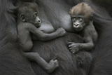 Western Lowland Gorilla (Gorilla Gorilla Gorilla) Twin Babies Age 45 Days Resting on Mother's Chest Photographic Print by Edwin Giesbers