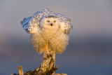 Snowy Owl (Bubo Scandiacus) Fluffing Feathers Photographic Print by Gerrit Vyn