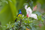 Variable Sunbird (Nectarinia Venusta) Adult Male on Hibiscus Flower, Nairobi, Kenya Photographic Print by Melvin Grey