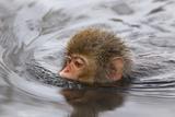 Japanese Macaque (Macaca Fuscata) Juvenile Swimming in Hot Spring, Jigokudani, Japan Fotografisk trykk av Diane McAllister