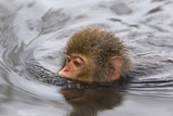 Japanese Macaque (Macaca Fuscata) Juvenile Swimming in Hot Spring, Jigokudani, Japan Photographic Print by Diane McAllister