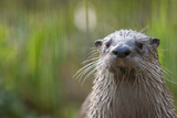 North American River Otter (Lutra Canadensis) Captive, Occurs in North America Photographic Print by Edwin Giesbers
