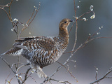 Female Black Grouse (Tetrao - Lyrurus Tetrix) Perched in Willow Feeding, Utajarvi, Finland, May Photographic Print by Markus Varesvuo