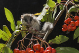 Juvenile Forest Dormouse (Dryomys Nitedula) on a Rowan Ash (Sorbus Aucuparia) Branch Photographic Print by Kerstin Hinze