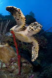 Hawksbill Turtle (Eretmochelys Imbricata) on a Reef Wall with a Rope Sponge Photographic Print by Alex Mustard