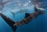 Whale Shark (Rhincodon Typus) Feeding View of Tail, Isla Mujeres, Caribbean Sea, Mexico, August Photographic Print by Claudio Contreras